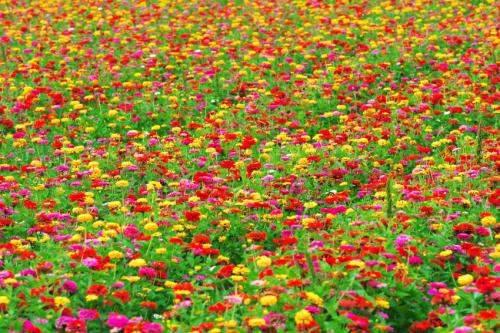 山中湖村 花の都公園の百日草とサンパチェンス_a0263109_20480322.jpg