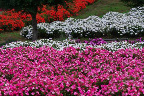 山中湖村 花の都公園の百日草とサンパチェンス_a0263109_20485499.jpg