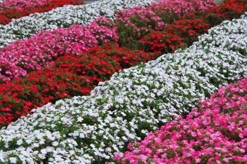 山中湖村 花の都公園の百日草とサンパチェンス_a0263109_20485513.jpg