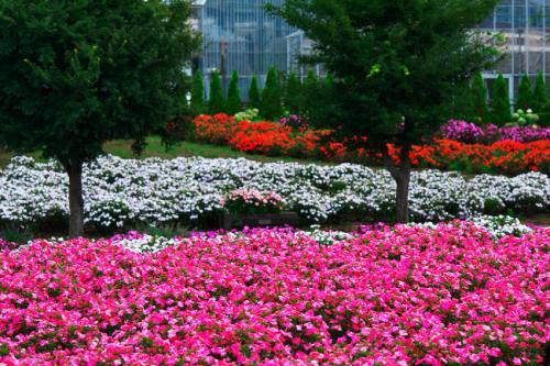 山中湖村 花の都公園の百日草とサンパチェンス_a0263109_20485604.jpg