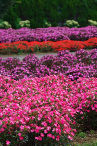 山中湖村 花の都公園の百日草とサンパチェンス_a0263109_20485667.jpg