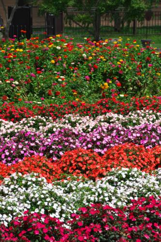 山中湖村 花の都公園の百日草とサンパチェンス_a0263109_20485687.jpg
