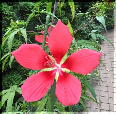まっ赤な花・・・・。_e0054438_10223223.jpg