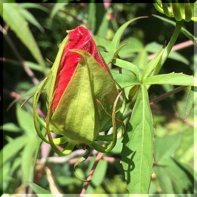 まっ赤な花・・・・。_e0054438_11101589.jpg