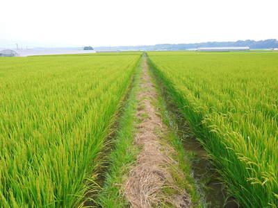 七城米 長尾農園 お米の花が咲きました 平成30年度の『七城米 長尾さんのこだわりのお米』残りわずか!_a0254656_1716338.jpg