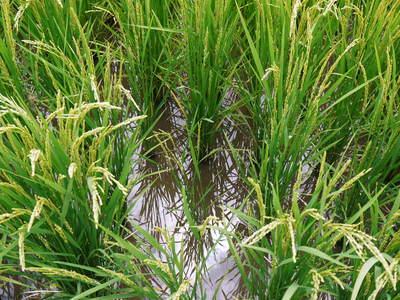 七城米 長尾農園 お米の花が咲きました 平成30年度の『七城米 長尾さんのこだわりのお米』残りわずか!_a0254656_1718402.jpg