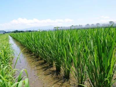 七城米 長尾農園 お米の花が咲きました 平成30年度の『七城米 長尾さんのこだわりのお米』残りわずか!_a0254656_1735933.jpg