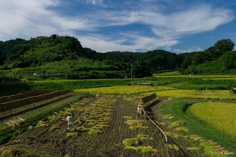 稲刈り 2_c0350572_17473056.jpg