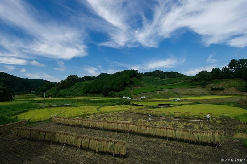 稲刈り 2_c0350572_17480146.jpg