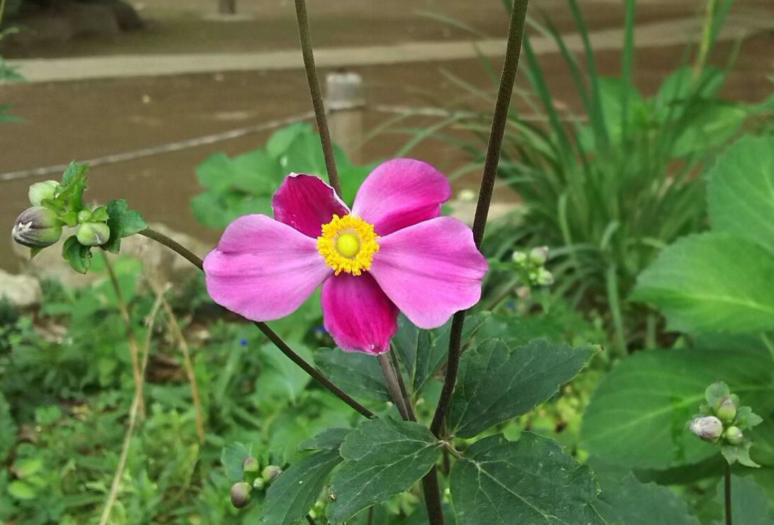 楽しい週末のひととき ~シュウメイギク(ピンク)~_a0107574_13052012.jpg