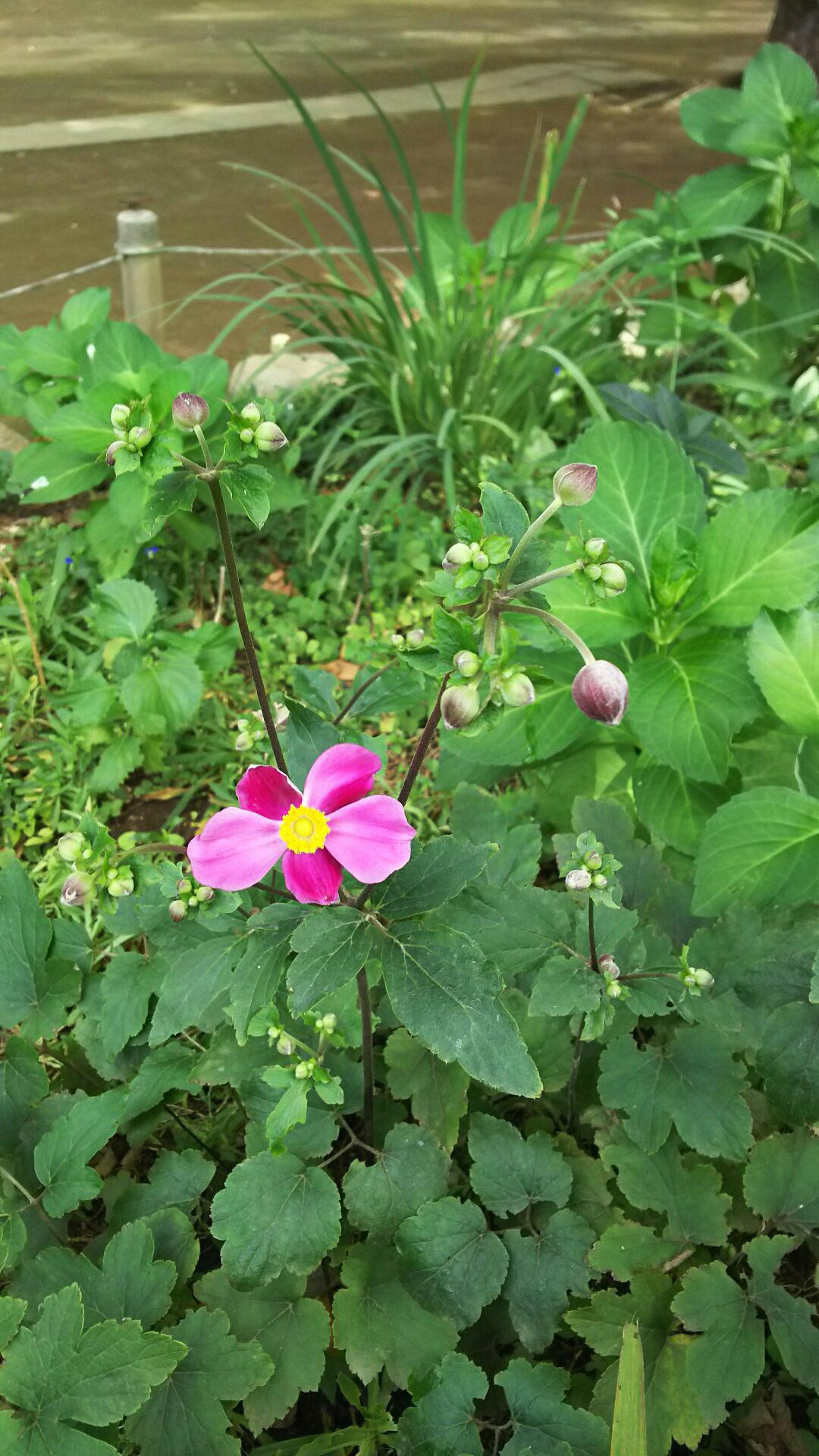 楽しい週末のひととき ~シュウメイギク(ピンク)~_a0107574_13052832.jpg