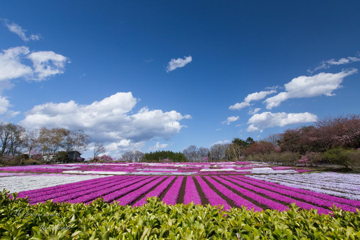 芝桜と青空に浮かぶ白雲が美しかった! まさに春本番_c0137403_14401780.jpg