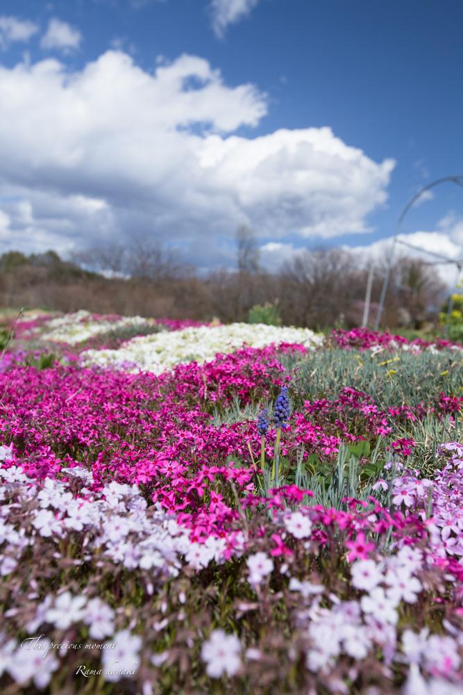 芝桜と青空に浮かぶ白雲が美しかった! まさに春本番_c0137403_14421934.jpg