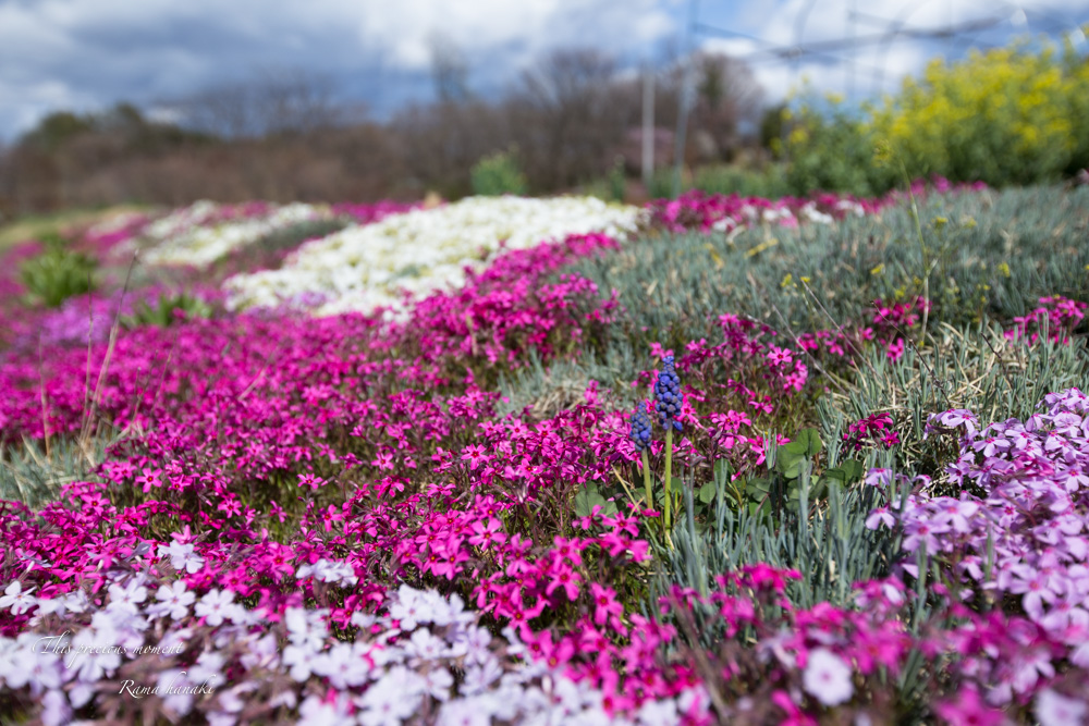 芝桜と青空に浮かぶ白雲が美しかった! まさに春本番_c0137403_14422982.jpg