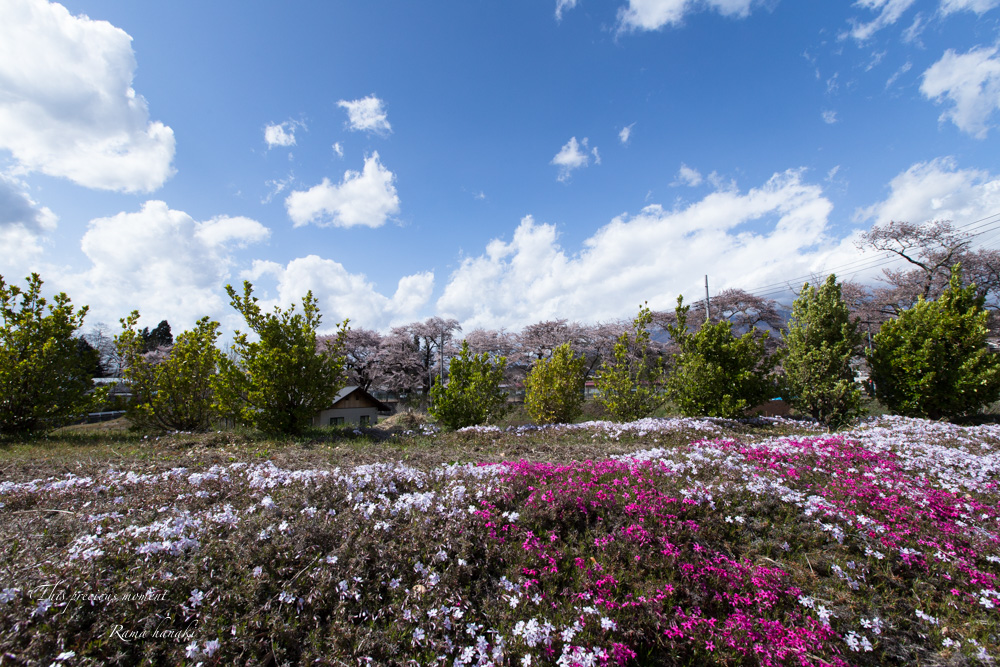 芝桜と青空に浮かぶ白雲が美しかった! まさに春本番_c0137403_1442672.jpg