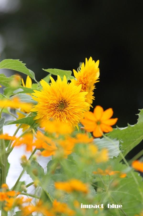 夏から秋へ、彩り花壇(#^.^#)_a0355908_18545815.jpg