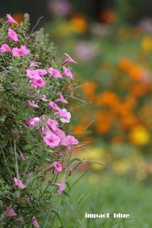 夏から秋へ、彩り花壇(#^.^#)_a0355908_18562618.jpg