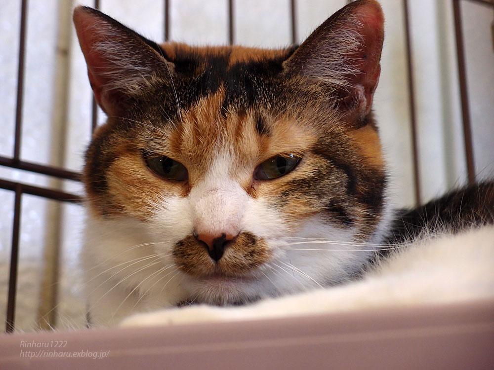 2016.7.30 東北サファリパーク☆猫のあめちゃんとはれくん【Cats】_f0250322_15451975.jpg