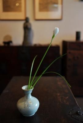 花だより タマスダレ_a0279848_15292488.jpg