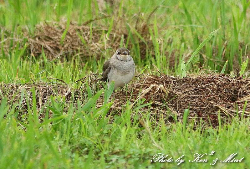 可愛かった「ツバメチドリ」さん幼鳥達^^_e0218518_21515181.jpg
