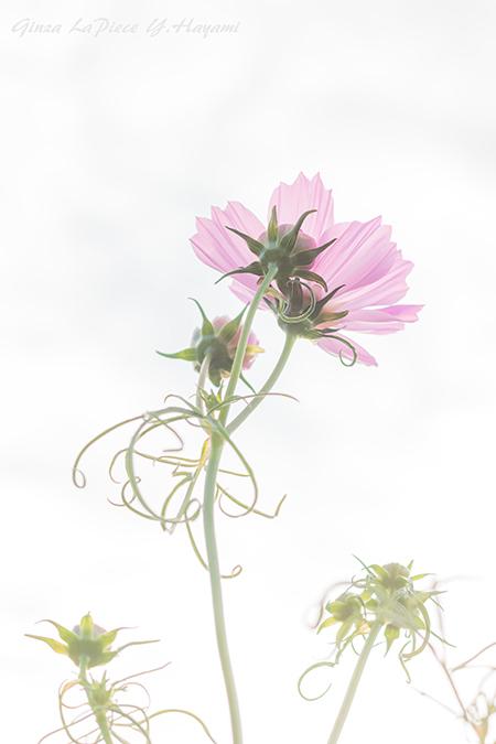 花のある風景 咲き始めのコスモス_b0133053_00365901.jpg