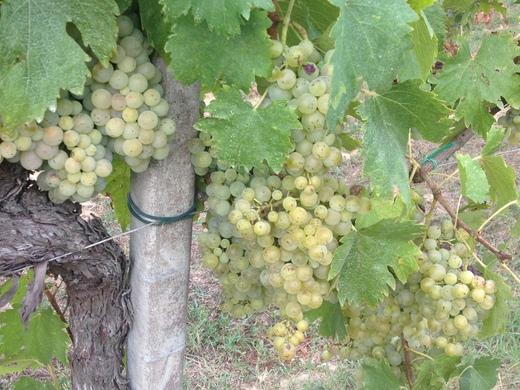 ブドウの収穫始まったのねぇ_a0136671_0594610.jpg