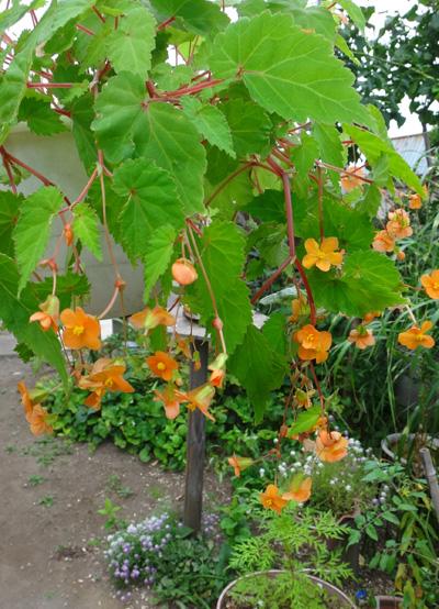 ベゴニア・サザーランディ、秋明菊の開花など♪_a0136293_16315212.jpg
