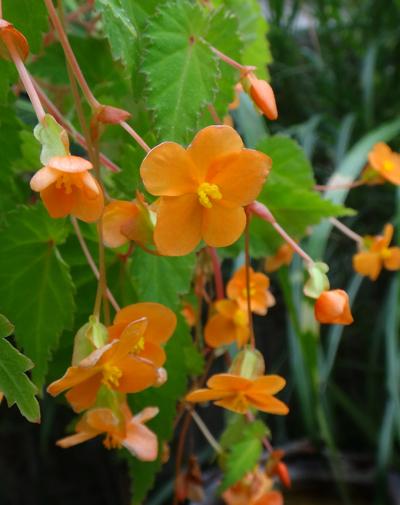 ベゴニア・サザーランディ、秋明菊の開花など♪_a0136293_163233100.jpg