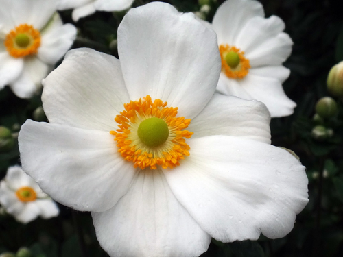 ベゴニア・サザーランディ、秋明菊の開花など♪_a0136293_16373555.jpg