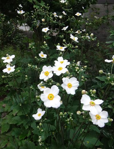 ベゴニア・サザーランディ、秋明菊の開花など♪_a0136293_16382912.jpg