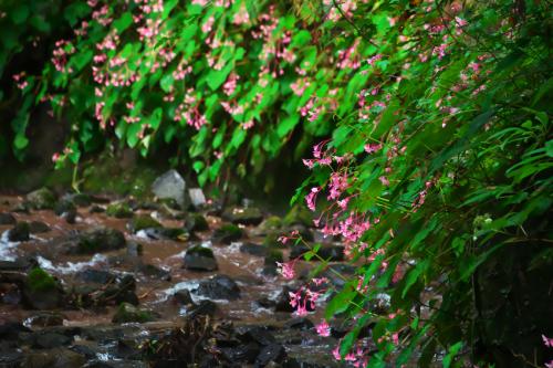 出流山(いずるさん)満願寺の秋海棠(シュウカイドウ)2_a0263109_09585527.jpg