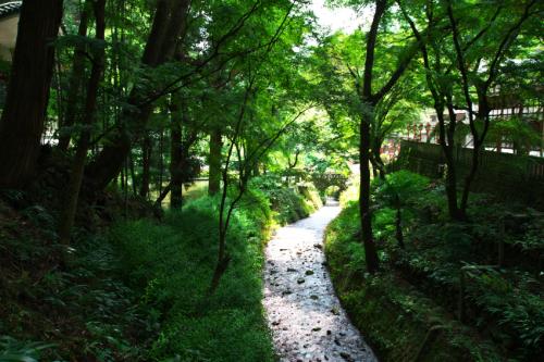 出流山(いずるさん)満願寺の秋海棠(シュウカイドウ)2_a0263109_10004062.jpg