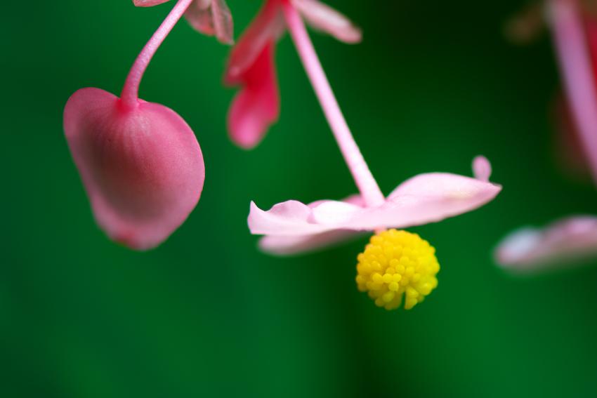 出流山(いずるさん)満願寺の秋海棠(シュウカイドウ)2_a0263109_10004204.jpg