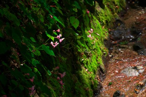 出流山(いずるさん)満願寺の秋海棠(シュウカイドウ)2_a0263109_10004261.jpg