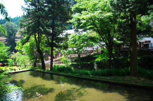 出流山(いずるさん)満願寺の秋海棠(シュウカイドウ)3_a0263109_10070788.jpg