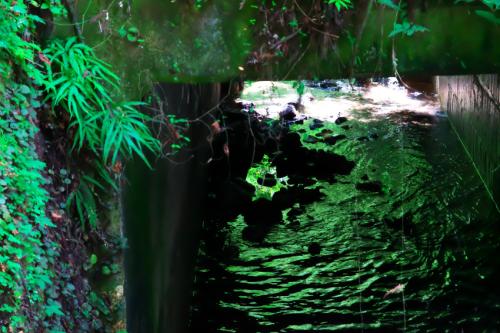 出流山(いずるさん)満願寺の秋海棠(シュウカイドウ)3_a0263109_10082631.jpg