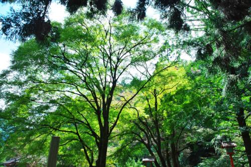 出流山(いずるさん)満願寺の秋海棠(シュウカイドウ)3_a0263109_10082669.jpg