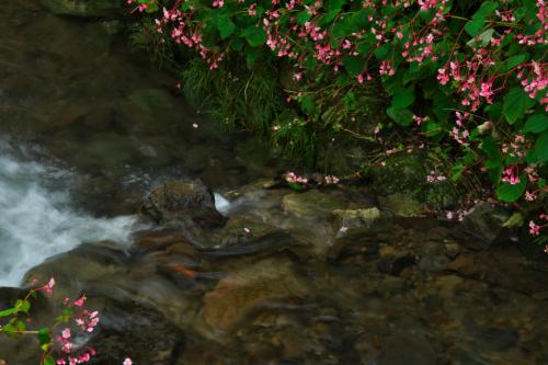 出流(いずる)ふれあいの森の秋海棠(シュウカイドウ)_a0263109_10151628.jpg