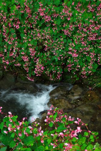出流(いずる)ふれあいの森の秋海棠(シュウカイドウ)_a0263109_10151692.jpg