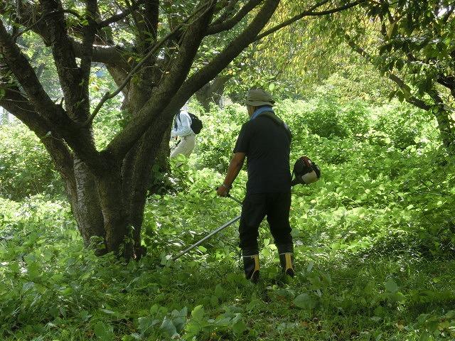 「ヒガンバナウォーク」に向けた草刈り  滝川に続き、沼川のサクラ並木区間も開通!_f0141310_7192639.jpg