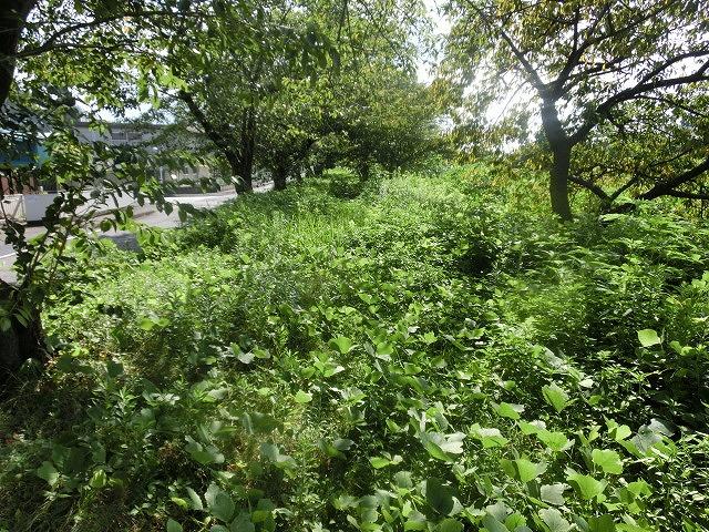 「ヒガンバナウォーク」に向けた草刈り  滝川に続き、沼川のサクラ並木区間も開通!_f0141310_720335.jpg
