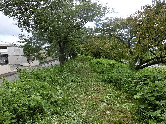 「ヒガンバナウォーク」に向けた草刈り  滝川に続き、沼川のサクラ並木区間も開通!_f0141310_7215588.jpg