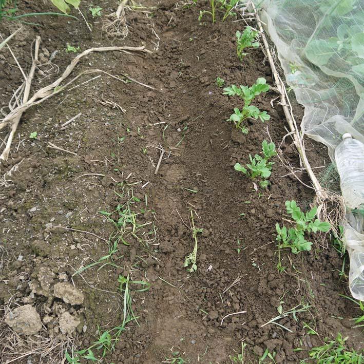 ブルーシートで里芋越冬着想&秋ジャガ芽掻き・土寄せ9・7_c0014967_20202829.jpg