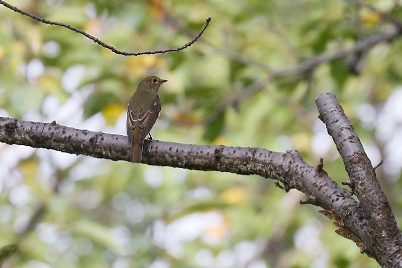 今季初見キビタキ雌と百舌鳥です。_f0368272_20370979.jpg