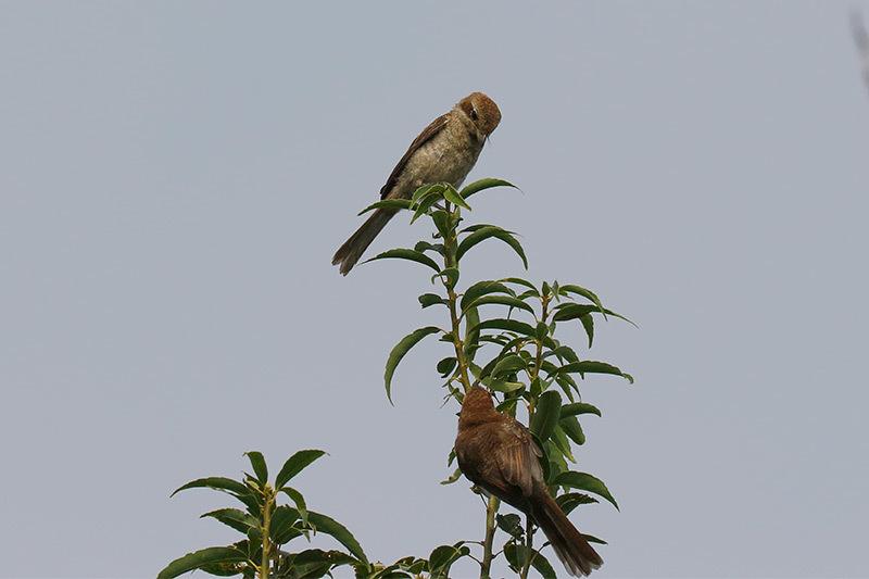 今季初見キビタキ雌と百舌鳥です。_f0368272_20371964.jpg