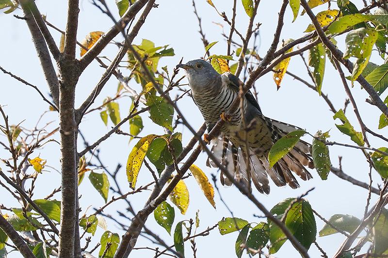 今季初見キビタキ雌と百舌鳥です。_f0368272_21423883.jpg