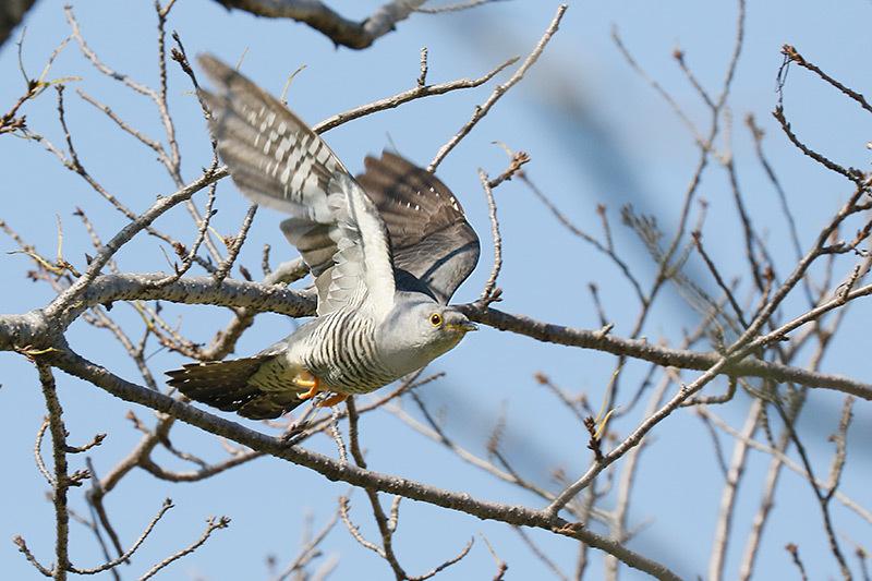 今季初見キビタキ雌と百舌鳥です。_f0368272_21424788.jpg