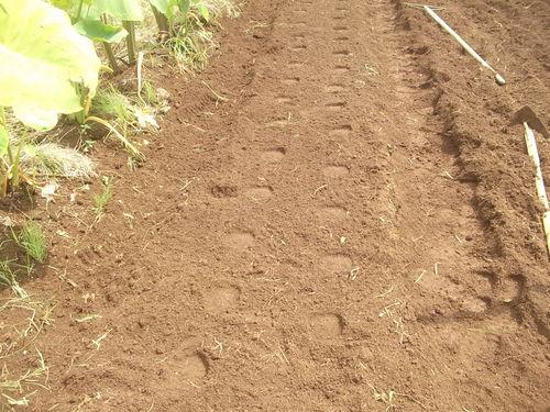 大根の植え付けの、お手伝い.._b0137932_1562029.jpg