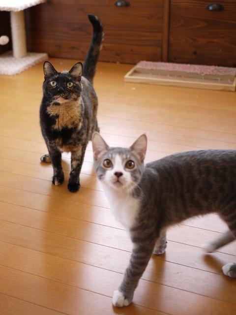 猫のお留守番 ワサビちゃん天ちゃん麦くん茶くん編。_a0143140_22163593.jpg