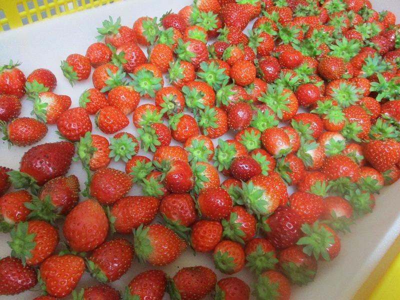 9月10日(土)・・・喜茶ゆうごのイチゴ_f0202703_22474421.jpg
